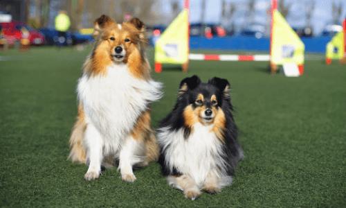 2 cães sentados em cima de um gramado sintético em Sampaio Correa
